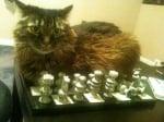 Котка лежи върху шахматна дъска