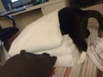 Котка между хавлиените кърпи