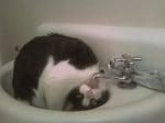 Котка пие вода от чешмата