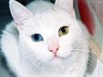 Котка с едно синьо и едно зелено око