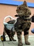 Котка с протеза