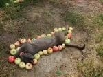 Котка с ябълки