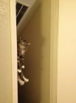 Котка се показва от вратата