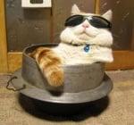 Котка със слънчеви очила