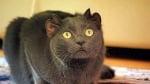 Котка в Англия с 4 уши