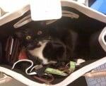 Котка в черна дамска чанта