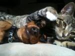 Котката, която се грижи за кучето