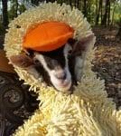 Сляпа козичка се чувства спокойна, когато е облечена в патешки костюм