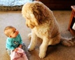 Кралски пудел с бебе