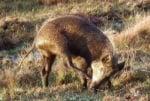 Хибрид между домашна свиня и диво прасе