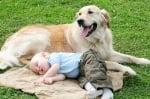 Куче голдън ретрийвър пази бебе