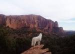 Куче като вълк на скалите