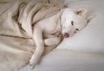 Куче като вълк