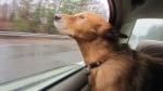 Куче, което се вози