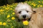 Куче с глухарче