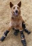 Куче с изкуствени крака