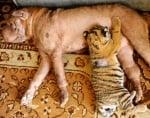 Куче се грижи за тигърче