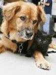 Куче, спасено от ураган, става гледачка
