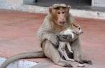Маймуна пощи кученце