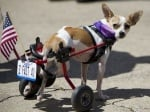 Кученце с протеза на задните крака
