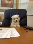 Кученце в офис