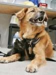 Кучето Буутс бавачка на малки котенца
