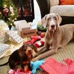 Кученцето Индиана за изненада на Харлоу