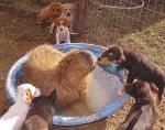 Кучета и капибара съжителстват заедно в приют