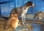 Кучета и тигърче