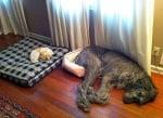 Добросърдечни кучета, които не осъзнават колко са огромни (2 част)