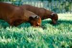Кучета ядат трева