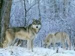 Кучета в дивата природа