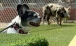 Кучето Саймън
