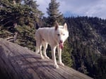 Кучето Wolf