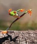 Кунг Фу жабка
