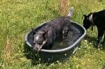 Къпане на австралийски кетълдог