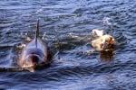 Невероятно! Куче и делфин плуват заедно край бреговете на Ирландия (видео)