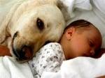 Лабрадор куче с бебе