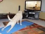 Лабрадор прави упражнения