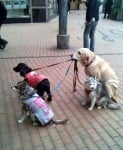 Лабрадор с кучета