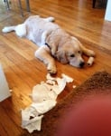 Лабрадор скъсал тоалетната хартия