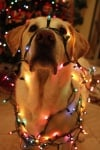 Лабрадор със светещи лампички