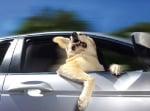 Лабрадор в автомобил