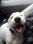 Лабрадорче спи усмихнато
