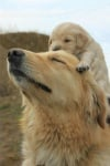 Лабрадорка с бебе