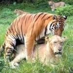 Лъвица ражда малки от тигър