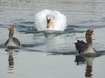 Лебед гони гъски