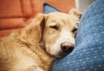 Лечение на Ендокардит при кучето