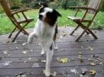 Лечение на куцота при кучето