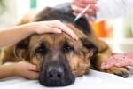 Лечение на Перикардит при кучето